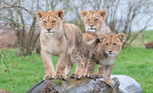 West Midlands Safari Cubs